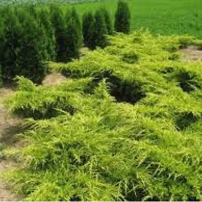 """Juniperus media """"Old Gold"""""""