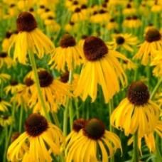 """Echenacea  """" Yellow Mellow"""""""