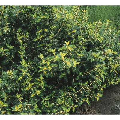 "Euonymus  "" Moonshadow"""