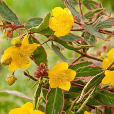 """Hypericum moserianum  """"Tricolor"""""""