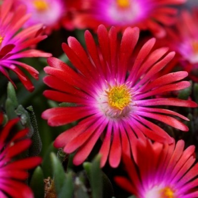 "Delosperma "" Jewel of desert garnet"""