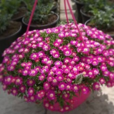 "Delosperma ""Jewel of desert ametist"""