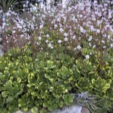 Saxifraga umbrosa variegata