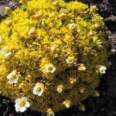 Saxifraga arendsii cloth of gold