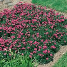 Armeria maritima splendens alpine plant