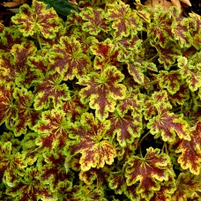 "Heuchera "" Solar power"""