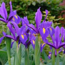 """Iris  """"Blue Magic"""""""