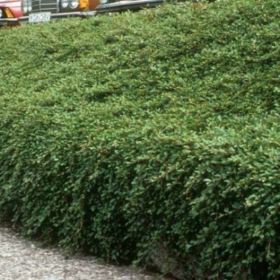 Cotoneaster dammeri radicans