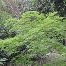 Acer palmatum green