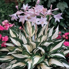 "Hosta ""Fire and Ince"""