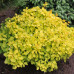 "Berberis thunbergii  ""Emerald gold"""