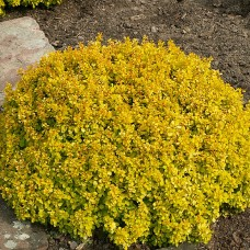 Berberis thunbergii golden dream