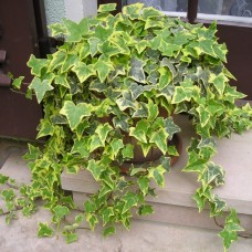 Hedera helix 'Gold Child""