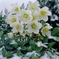 Heleborus white