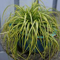 Carex evergold compactum
