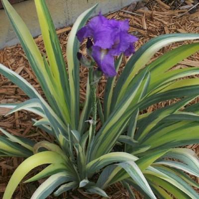 Iris palida variegata