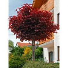 Acer crimson sentry