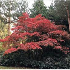 Acer palmatum - Japanski Javor