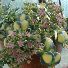 Sedum sieboldi variegata