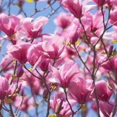 """Magnolia """"Galaxy"""""""