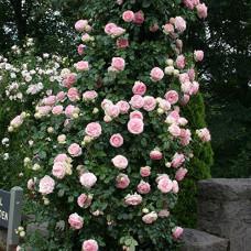 """Eden Rose"""