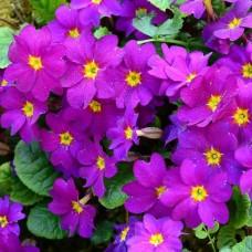 """Primula """" Wanda"""""""