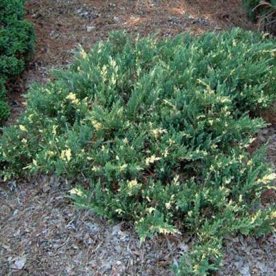 Juniperus daurica variegata