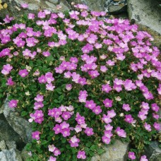 """Erodium variabile """"Flora Pleno"""""""