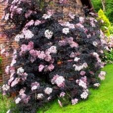 Sambucus nigra Black