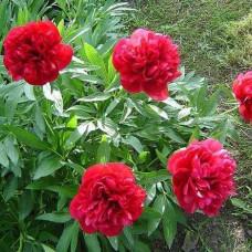 Bozur - crveni