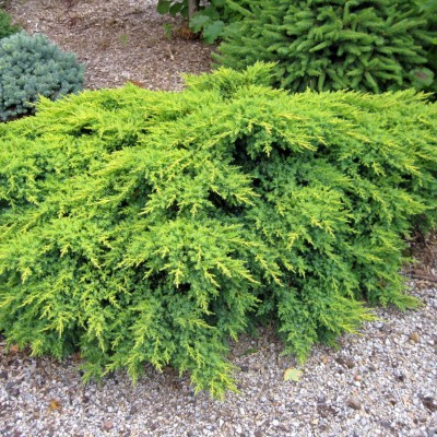 Juniperus savaria gold