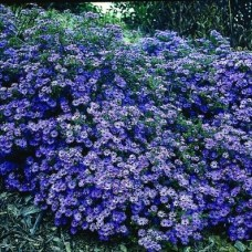 Aster blue