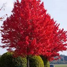 "Acer ""Autumn Blaze"""