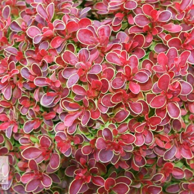 "Berberis  th ""Admiration"""