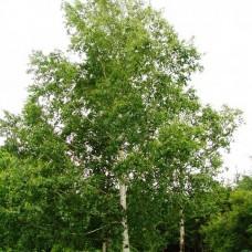 Betula veruccosa