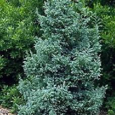 Chamaecyparis pisifera bulevardi