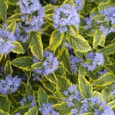 Caryopteris clandonensis Summer sorbet
