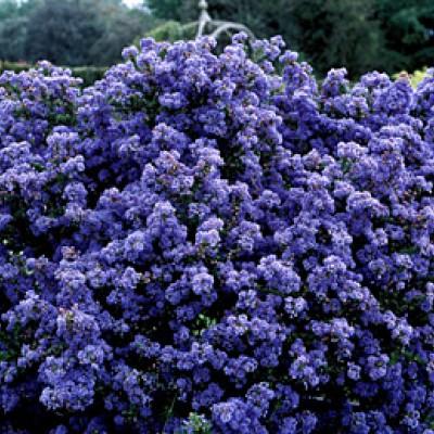 "Ceanothus 'Puget Blue"""