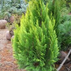 Chamaecyparis lawsoniana 'Barabits Lutea' .
