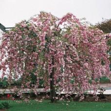 "Prunus triloba ""Kiku Shidare"""