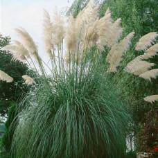 Cortaderia selloana - White