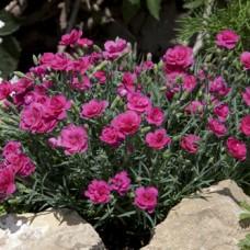 Dianthus-pink