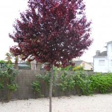 Prunus pisardi (kalem)