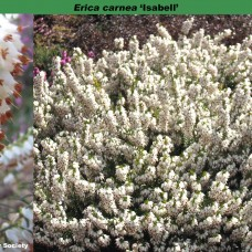 "Erica carnea ""Isabell"""