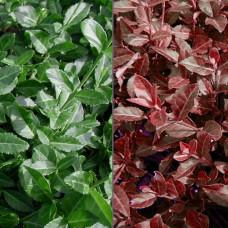 """Euonymus fortunei  """"Coloratus"""""""