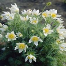 Anemone pulsatilla vulgaris Alba