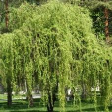 Salix Matsudana Tortuosa)