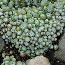 Sempervivum arachnoideum 'Cobweb'
