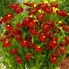 "Helenium "" Ruby"""