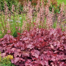 "Heuchera ""Berry  Smoothie"""